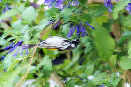 Honey eater